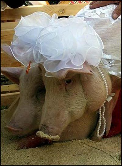cerdomania-cerdo-cerdos-1