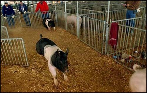 cerdomania-cerdo-cerdos-2