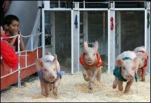 cerdomania-cerdo-cerdos-3
