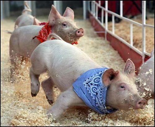 cerdomania-cerdo-cerdos-4