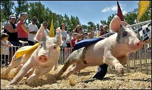 cerdomania-cerdo-cerdos-5