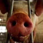 cerdomania-cerdo-cerdos-6