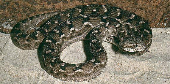echis-carinatus-serpientes