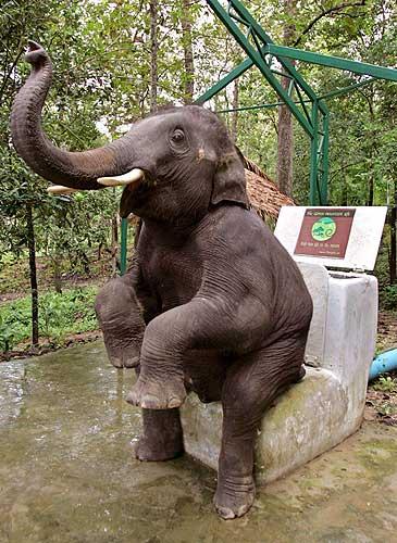 elefante sentado rodillas