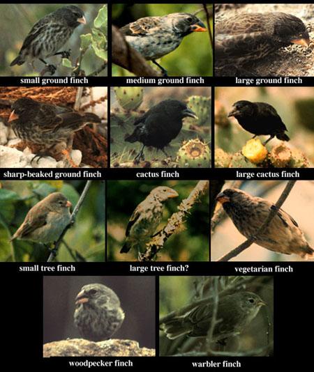 evolucion-pinzones_darwin islas galapagos