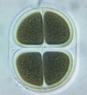 formacion-agua-tierra-algas-cianoficeas-chrooco