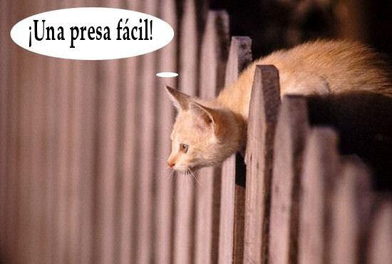 gato humor acecho