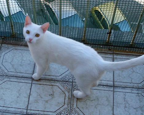 gatos-pocholos-bonitos-blanco-japones