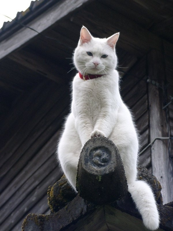 gatos-pocholos-bonitos-blanco