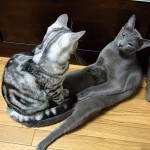 gatos-pocholos-bonitos-tumbado-siameses