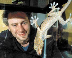gecko-adherido-adherir