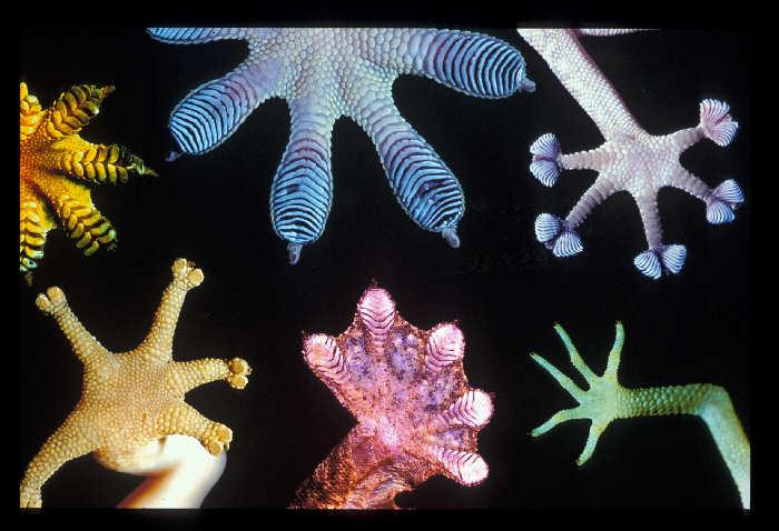 gecko-patas-pies-pegamento