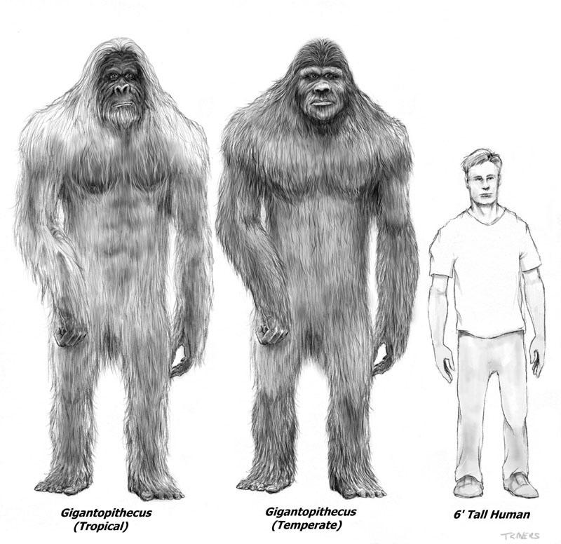 gigantopithecus_giganto-simio-comparacion-hombre