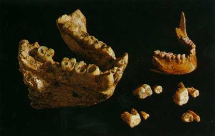 gigantopithecus_giganto-simio-gigante-mandibula