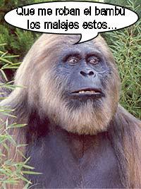 gigantopithecus_giganto-simios-gigantes-cabeza