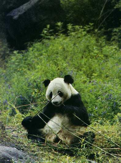 gigantopithecus_giganto-simios-pandas-gigantes
