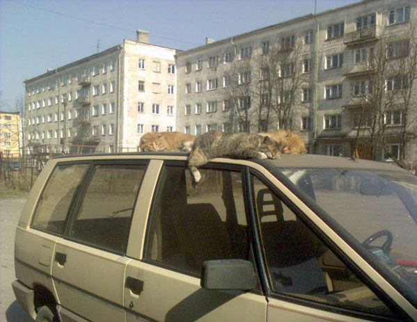 humor animales gatos coche