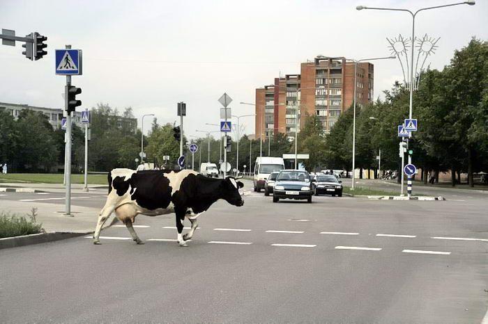 humor animales vacas calle