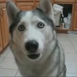 husky habla perro aulla