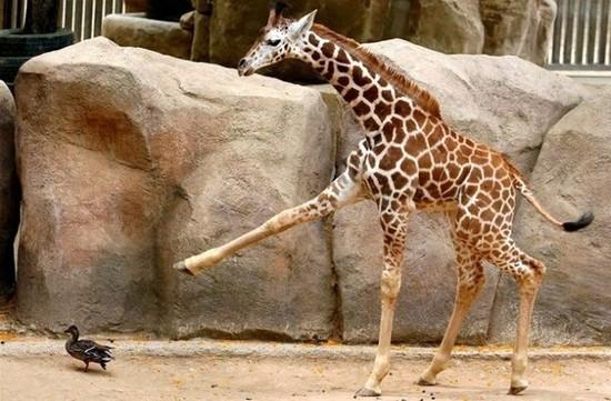 jirafa pisoton