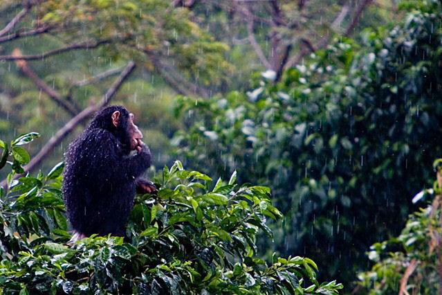 lluvia-mono selva
