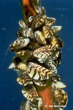 mejillon-mejillones-cebra-adheridos