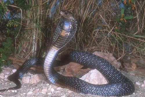 naja cobra asia reptil
