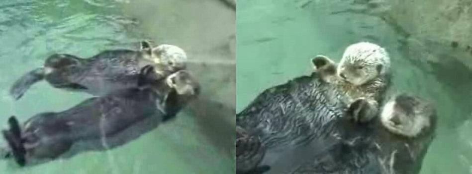 nutrias-abrazadas-mano-pata-otters