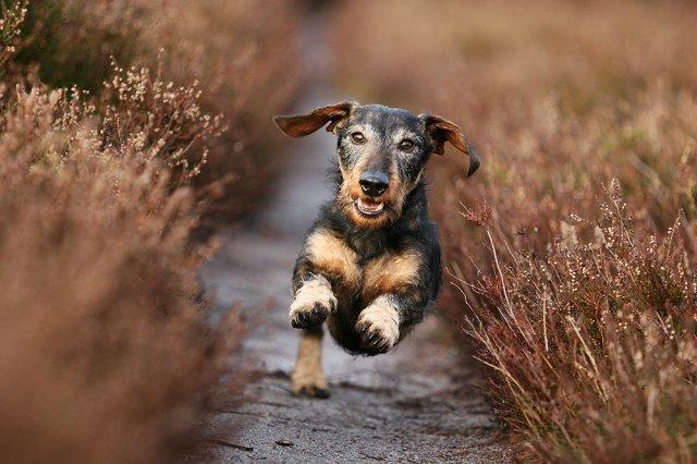 perro corriendo campo