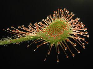 planta-carnivora-drosera-pelos-pegajosos