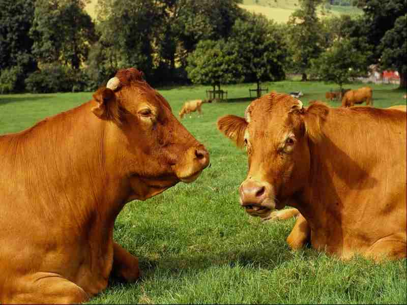 vacas carne animales