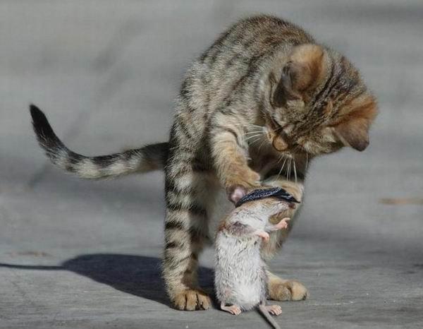 animales-graciosos-gato-hamster