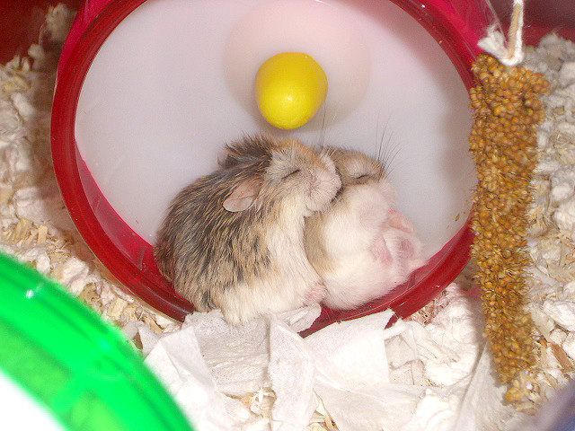 animales-graciosos-hamsters