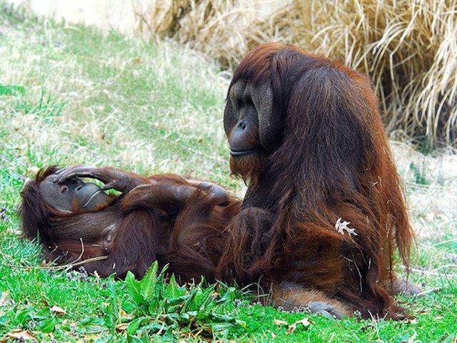animales-graciosos-orangutan