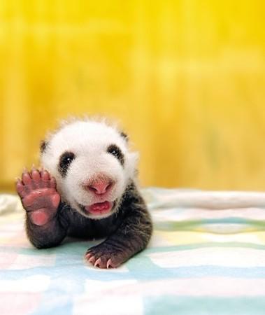 animales-graciosos-oso-panda
