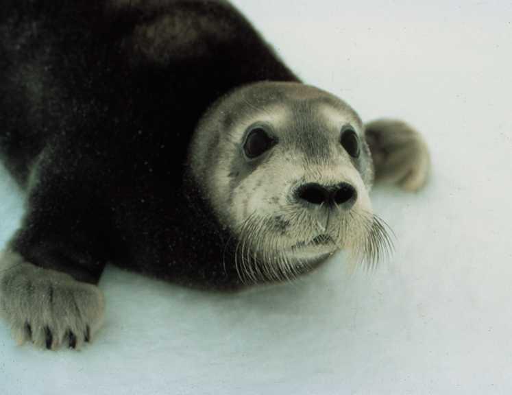 cachorros animales foca