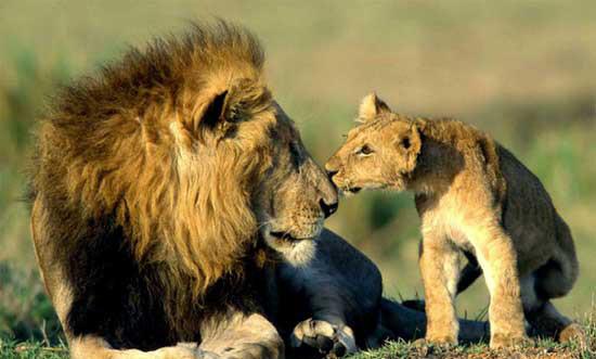 cachorros animales leon