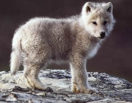 cachorros animales lobo