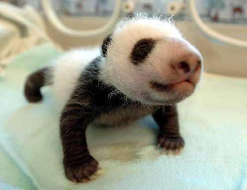 cachorros animales oso_panda