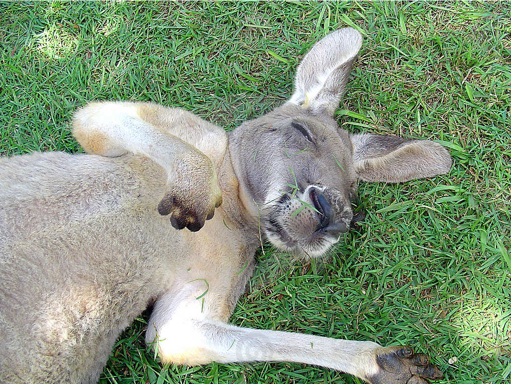 canguro-durmiendo-kangaroo-sleeping-hierba