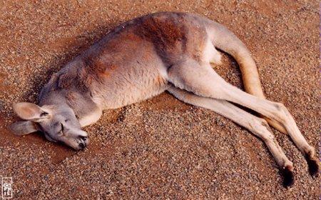 canguro-durmiendo-kangaroo-sleeping-tierra