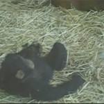 chimpance cepillandose rana