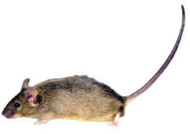 descubrimientos raton