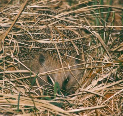 hedgehog-sleeping-erizo-dormir