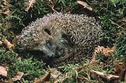 hedgehog-sleeping-erizo-durmiendo