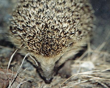 hedgehog-sleeping-erizo-siesta