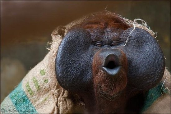 humor-animales-orangutan-only-you
