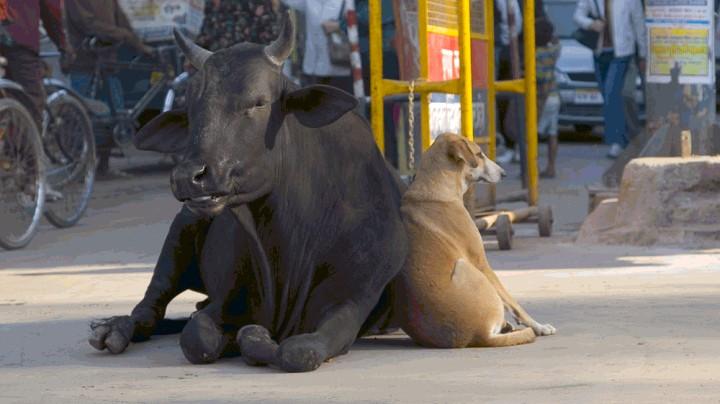 humor-animales-vaca-perro