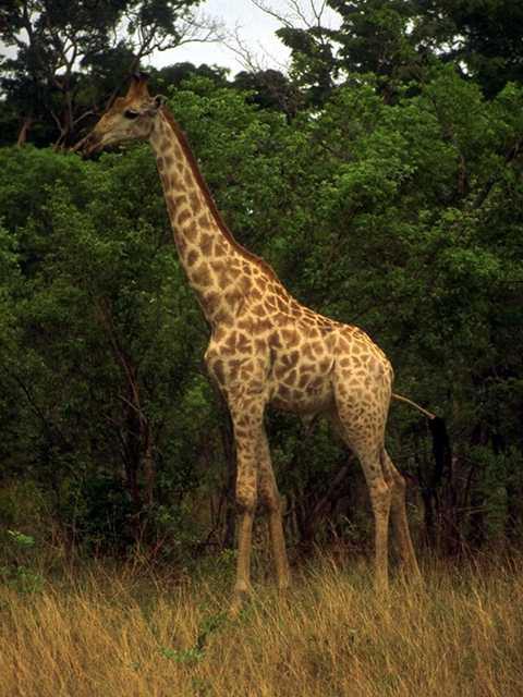 jirafa-evolucion-cuello
