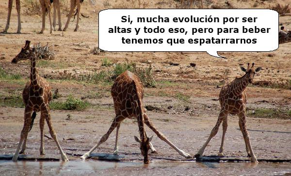 jirafas bebiendo charco